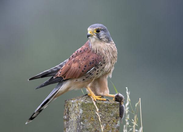 Пустельга обыкновенная Falco tinnunculus