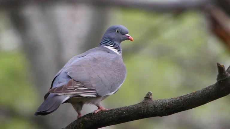Птица вяхирь Columba palumbus