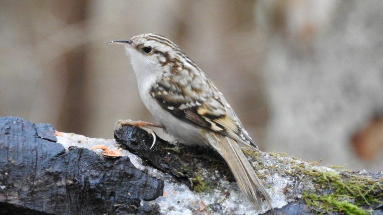 Птица пищуха обыкновенная Certhia familiaris