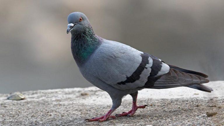 Птица голубь сизый Columba livia