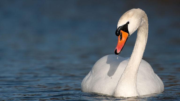 Птица лебедь-шипун Cygnus olor