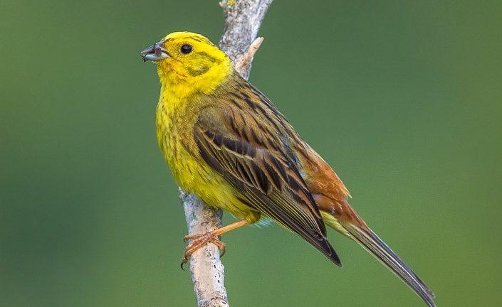 Птица овсянка обыкновенная Emberiza citrinella