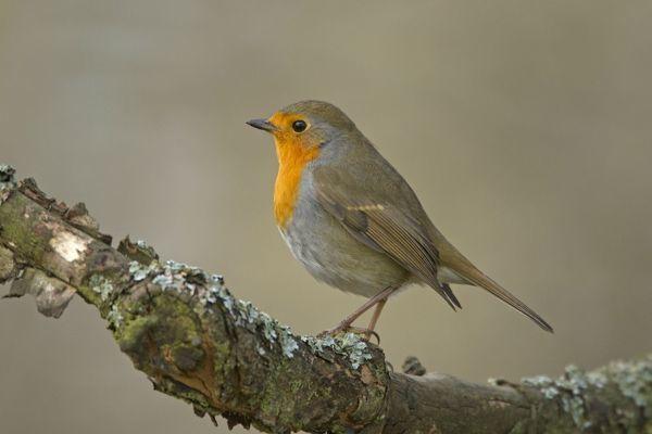 Птица зарянка Erithacus rubecula