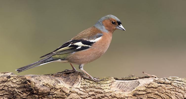 Птица зяблик Fringilla coelebs