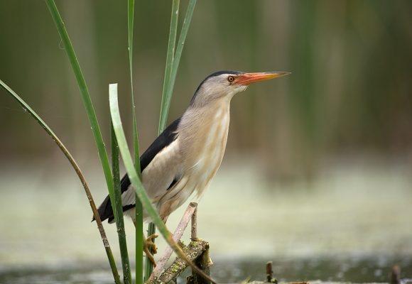 Выпь малая (Ixobrychus minutus)