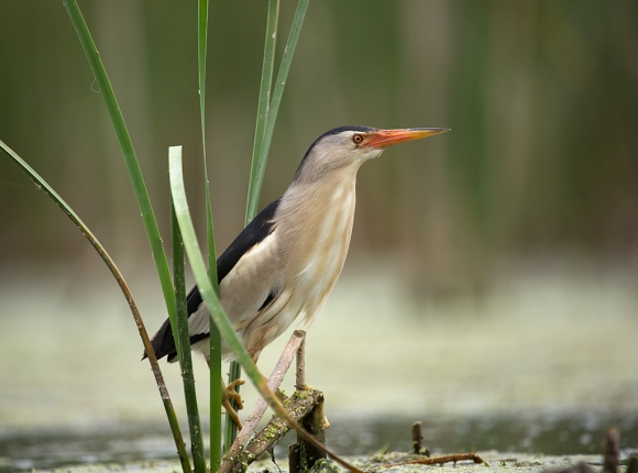 Птица выпь малая Ixobrychus minutus