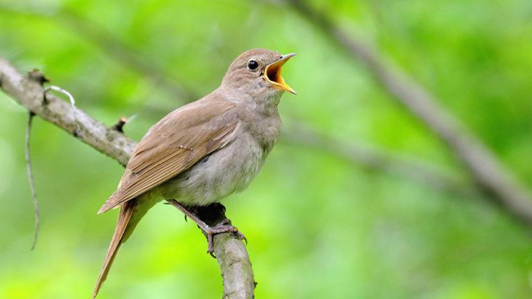 Птица соловей обыкновенный Luscinia luscinia