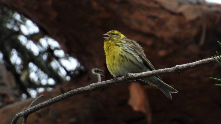 Птица канареечный вьюрок Serinus serinus