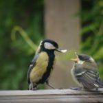 Обилие пищи влияет на успех размножения птиц в городах