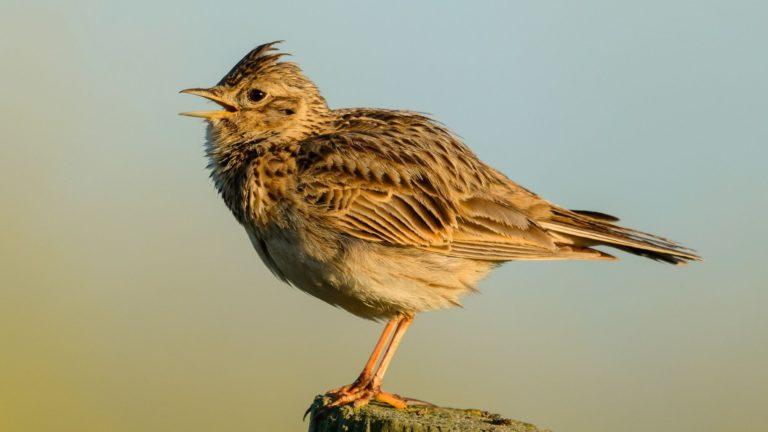 Птица полевой жаворонок Alauda arvensis