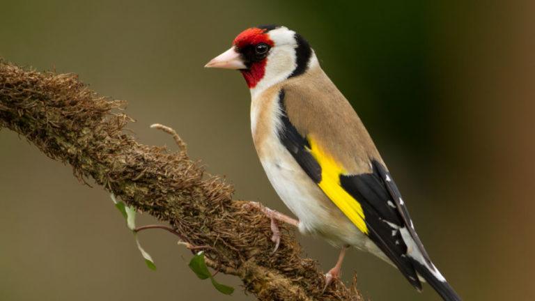 Птица щегол черноголовый Carduelis carduelis