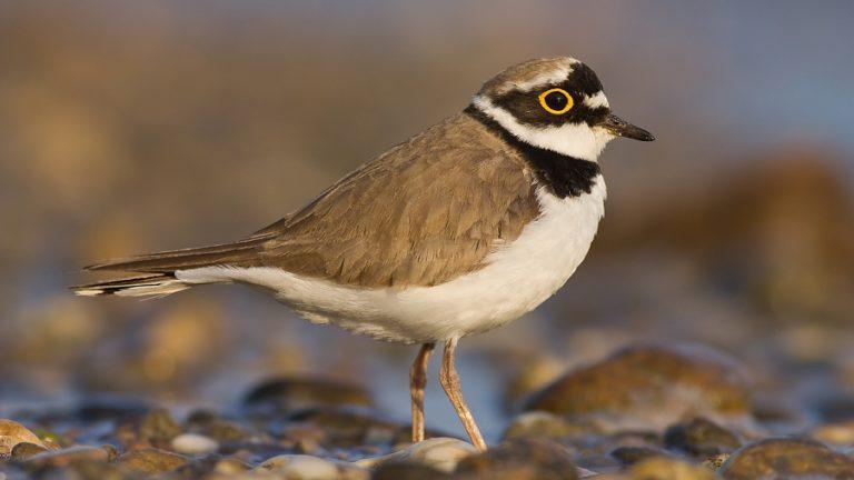 Птица малый зуёк Charadrius dubius
