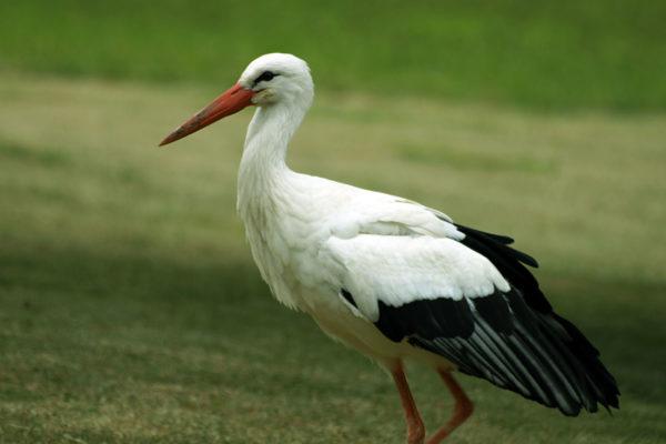 Аист белый (Ciconia ciconia)