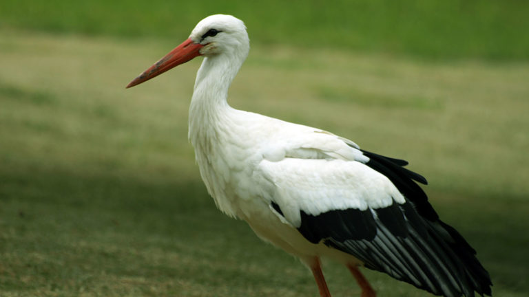 Птицы аист белый Ciconia ciconia