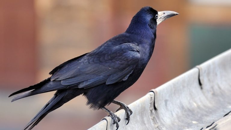 Птица грач Corvus frugilegus