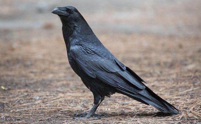 Птица ворон Corvus corax