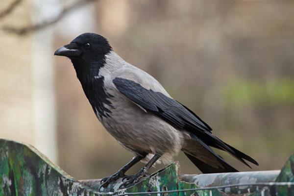 Ворона серая (Corvus cornix)