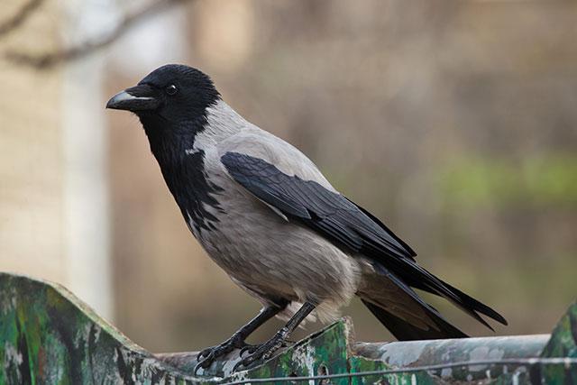 Птица ворона серая Corvus cornix