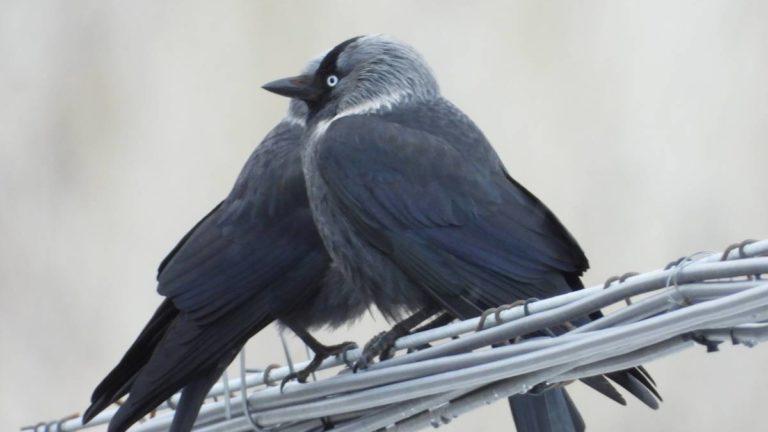 Птица галка Corvus monedula
