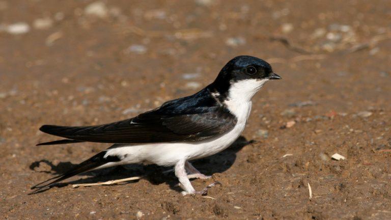 Птица ласточка городская Delichon urbicum