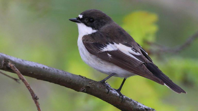 Птица мухоловка-пеструшка Ficedula hypoleuca
