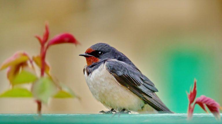 Птица ласточка деревенская Hirundo rustica