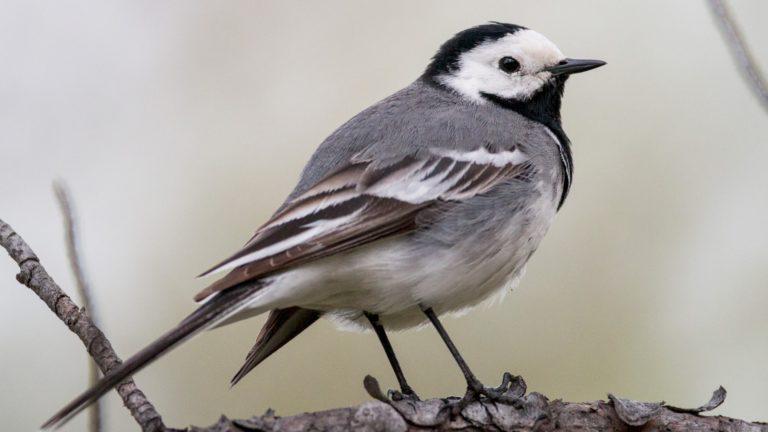 Птица трясогузка белая Motacilla alba