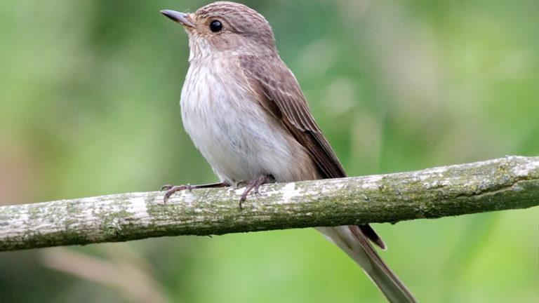 Птица мухоловка серая Muscicapa striata