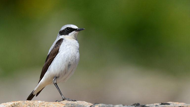 Птица каменка обыкновенная Oenanthe oenanthe