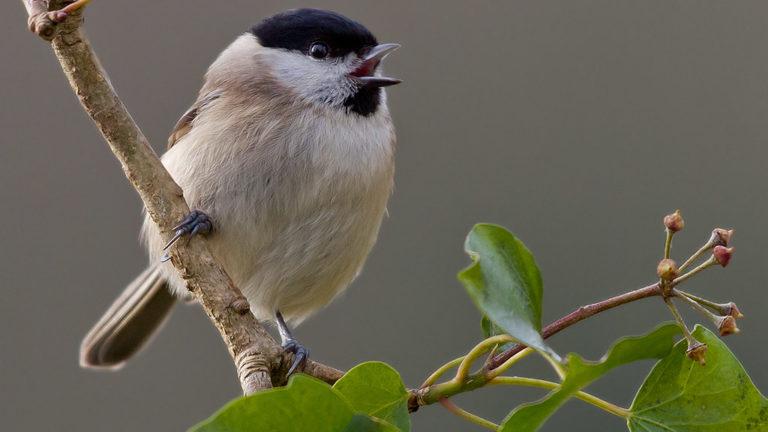 Птица гаичка буроголовая Parus montanus