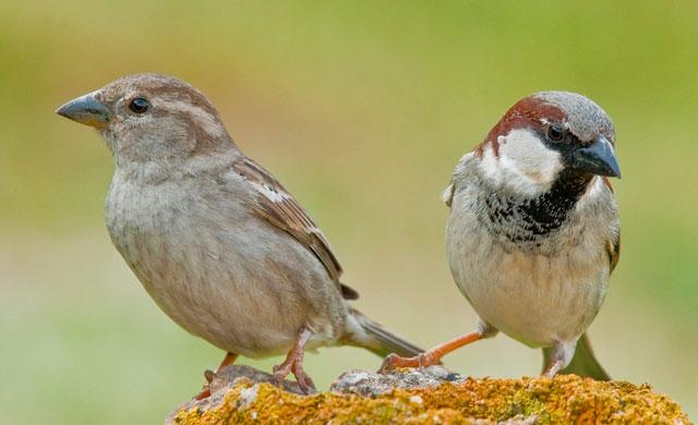 Птица воробей домовый Passer domesticus