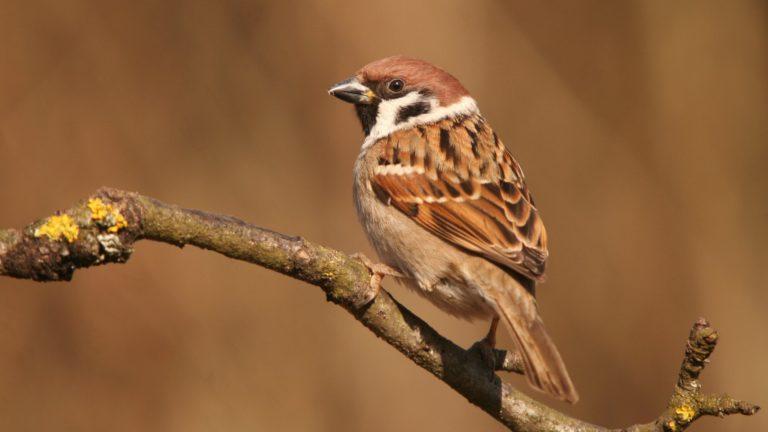 Птица полевой воробей Passer montanus