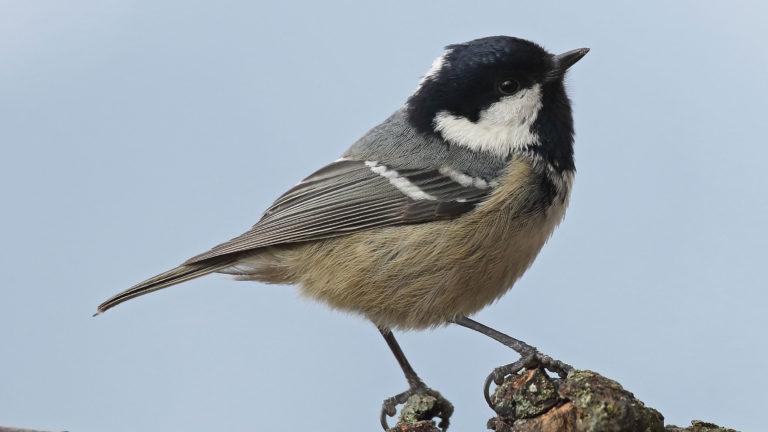 Птица синица московка Periparus ater