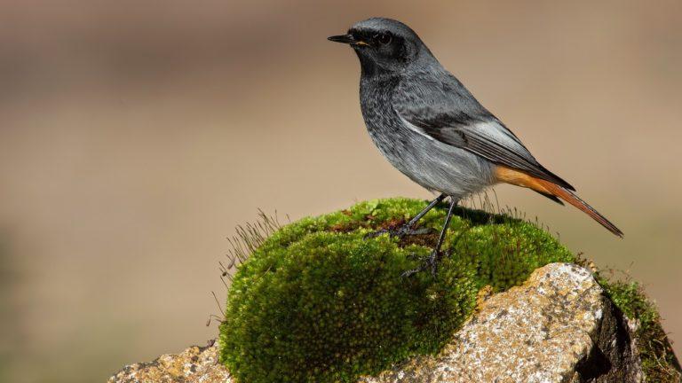 Птица горихвостка-чернушка Phoenicurus ochruros