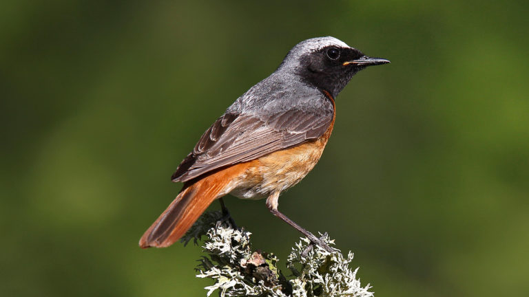 Птица горихвостка обыкновенная Phoenicurus phoenicurus