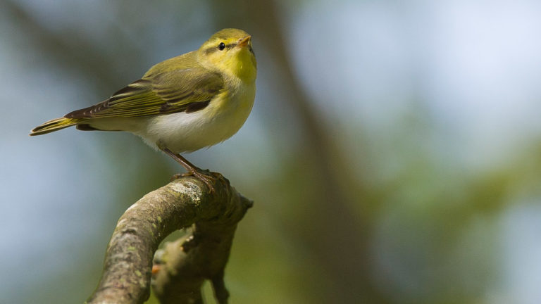 Птица пеночка-трещотка Phylloscopus sibilatrix
