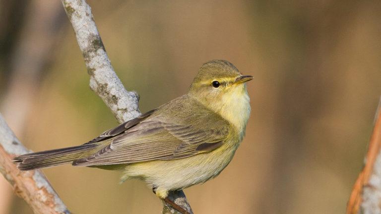 Птица пеночка-весничка Phylloscopus trochilus