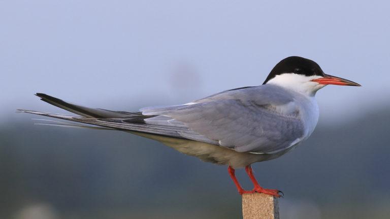 Птица речная крачка Sterna hirundo