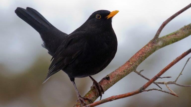 Птица чёрный дрозд Turdus merula