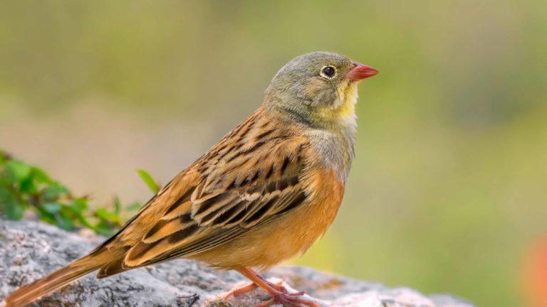 Птица овсянка садовая Emberiza hortulana