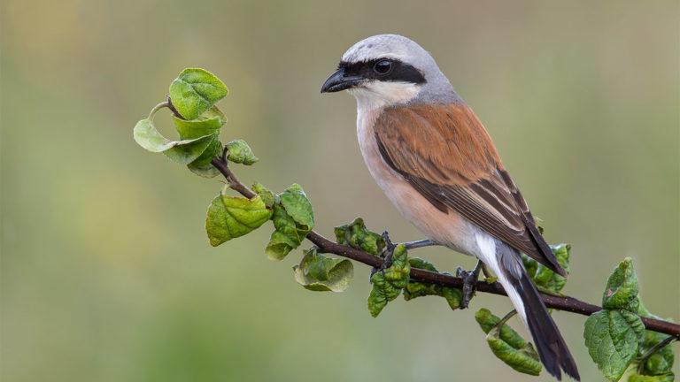 Птица жулан обыкновенный Lanius collurio
