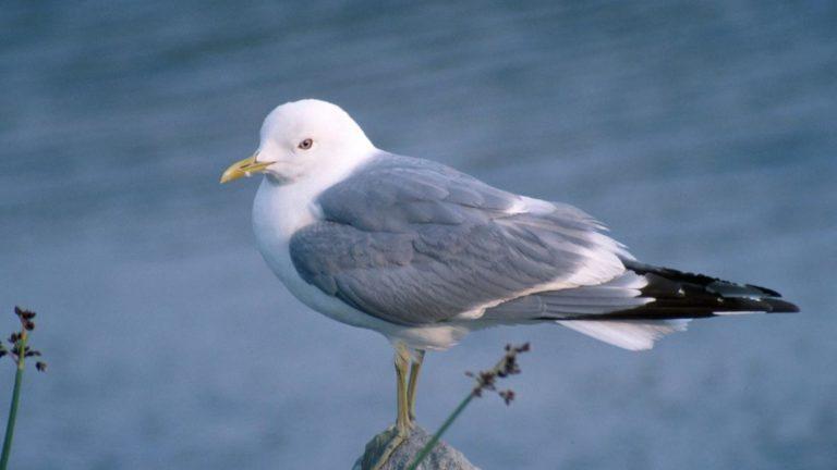 Птица чайка сизая Larus canus