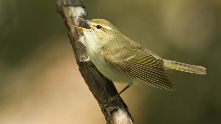 Птица пеночка зелёная Phylloscopus trochiloides