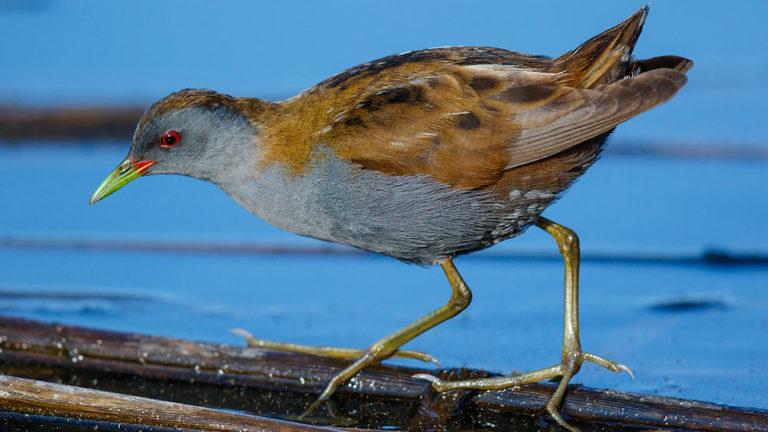 Птица погоныш малый Porzana parva