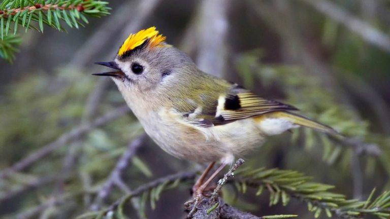 Птица королёк желтоголовый Regulus regulus