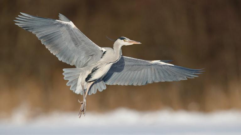 Птица цапля серая Ardea cinerea