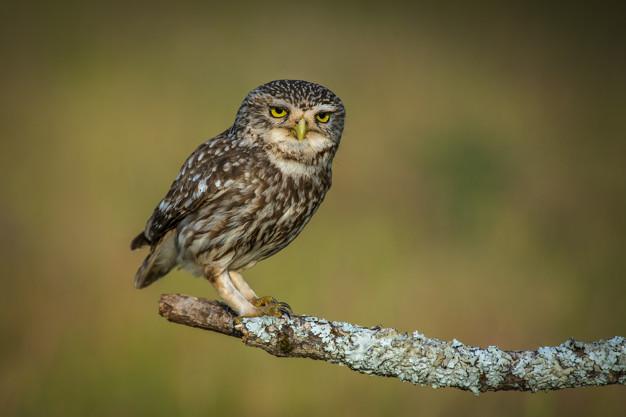 Птица сыч домовый Athene noctua