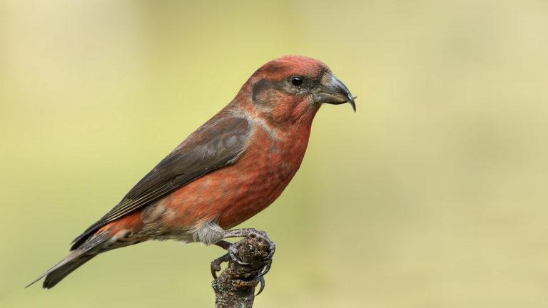 Птица клёст-еловик Loxia curvirostra
