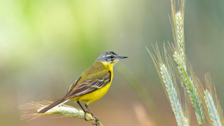 Птица трясогузка жёлтая Motacilla flava