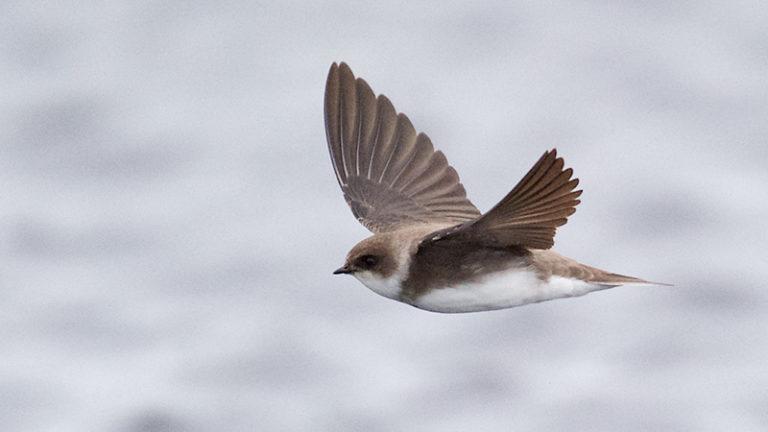 Птица ласточка береговая Riparia riparia